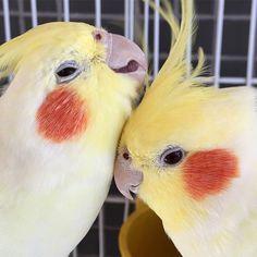 Namorico  - olha quem veio me visitar nesse fds  . . . #calopsita #calopsitas #cockatiel #passaros #namoro #birds #bird #cute #fofo #fofura #pet #pets #fds #domingo #sunday #love #amor #animais #instagood #instapet