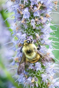 Bumble Bee on Hyssop:                                                                                                                                                     More