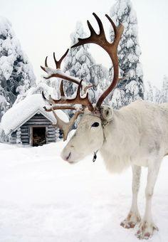 Reindeer of Santa Claus in Lappland/ Joulupukin poro Ritavaaran päällä Pellossa Lapissa