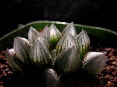 多肉植物 ハオルチア ブラックオブツーサ...