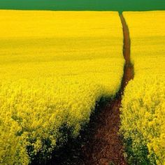 Mustard Field Germany - Beautiful Scenery