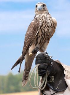 """I AM going to get a falcon!!! Then people can brag about their pets all they want, and I can just reply, """"I have a falcon."""" Unless they have a monkey, I win."""