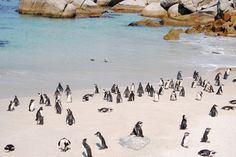Travel Tuesday takes us to Boulders Beach in South Africa; a short drive from Capetown. Get up close and personal with penguins as far as the eye can see. #tsongausa #handmade #traveltuesday #bouldersbeach #penguin #madeinsouthafrica