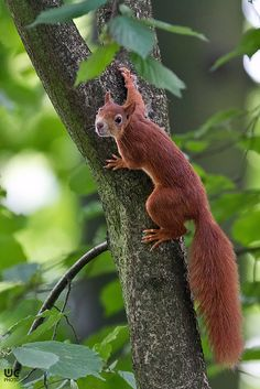 red squirrel << Today's dose of squirrel cuteness. Hamsters, Rodents, Squirrel Pictures, Animal Pictures, Beautiful Creatures, Animals Beautiful, Tree Rat, Funny Animals, Cute Animals