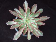 Echeveria 'Minas' - Flickr - Photo Sharing!