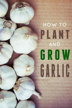 How to Plant and Grow Garlic -- Step by step instructions how to grow garlic in your garden.