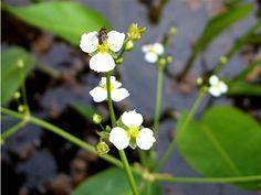 alisma plantago-aquatica - Поиск в Google
