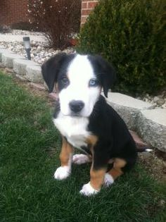 Our Greater Swiss Mountain Dog puppy!