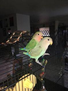LOST LOVEBIRD: 07/02/2017 - Spanaway, Washington, WA, United States. Ref#: L33936 - #CritterAlert #LostPet #LostBird #LostParrot #MissingBird #MissingParrot #LostLovebird #MissingLovebird
