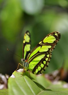 Lovely lime-green butterfly with striking black markings Rainbow Butterfly, Green Butterfly, Butterfly Kisses, Butterfly Flowers, Butterfly Wings, Flying Flowers, Butterflies Flying, Beautiful Butterflies, Flora Und Fauna