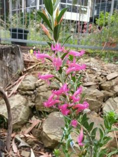 Eremophila calorhabdos via Australian Native Plant Enthusiasts fb page