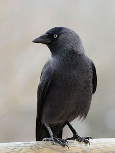 The jaunty jackdaw is the smallest member of the crow family in Britain.
