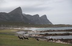 Bontebok by the Buffels Bay tidal pool, Cape Point National Park, Cape Town, South Africa Table Mountain, Cape Town, South Africa, National Parks, Wildlife, Camping, Mountains, Landscape, Travel