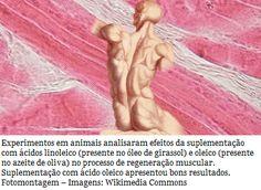 O estudo mostra que o ácido oleico otimizou a capacidade regenerativa e a função contrátil (contração que gera movimento) do músculo lesionado