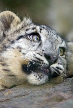 Baby snow leopards have huge paws that work as snowshoes and also maintain them from penetrating the snow. Their paws are additionally totally fur-covered, safeguarding them from the cold. Baby Snow Leopard, Leopard Cub, Big Cats, Cats And Kittens, Cute Cats, Beautiful Cats, Animals Beautiful, Cute Baby Animals, Animals And Pets