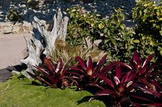 Red bromeliads with Scleranthus biflorus at the Potters Childrens garden at Auckland's Botanic Gardens...in winter
