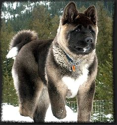 """Although known to be a quiet dog the Akita has strong guarding instincts and will sound the alarm if an intruder breaks into their house. Akita temperament can range from calm to bouncy and aggressive, so the breed should always be supervised around small children and other animals. Akitas like to be """"pack leader,"""" so obedience training is also necessary for a harmonious household. The breed will groom itself like a cat, but daily brushing is still necessary, as is daily exercise."""