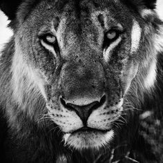 Dramatic Black And White Photos Of African Wildlife By Laurent Baheux | Bored Panda