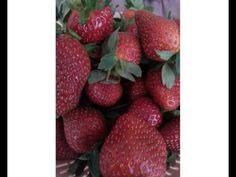 Jika anda tertarik untuk Beli Buah Strawberry secara Online bisa menghubungi kami di 081931266656 (Yoga Imawan)