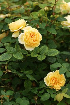 TIPS for Growing Roses in Containers ...........................This is my creation, MY Boards...not yours.  You are welcome to use my pins on your boards. But, Please do not post on my boards and change my intent.  And How do you know my intent?