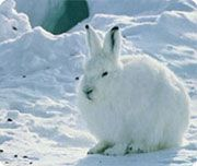 Arctic hares have black eyelashes that protect their eyes from the sun's glare, just like sunglasses