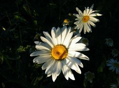 http://fineartamerica.com/featured/daisy-in-the-golden-hour-elisabeth-ann.html?newartwork=true for more prices and links please visit the link listed