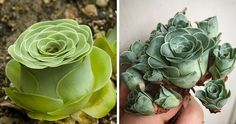Remember the dolphin succulents and bunny succulents we wrote about earlier? If you liked those you'll just love these rose-shaped succulents!