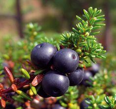 Diy Flowers, Botany, Fruit, Arctic