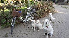 Georgeous white Freja , some of her youngsters - don't they just match the Diva? ... Tags: #Batavus, #Diva, #Bicycle, #Bike, #small #adventure, #dogs