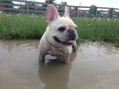 Dexter, a French Bulldog in Cincinnati, LOVES a mudbath after a rainy weekend,