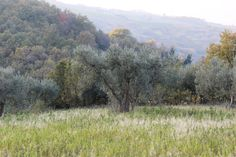 An olive tree in the Wild Bird Retreat olive grove, where rare species of bird can be found. This is wild, natural Italy at its very best! http://www.terraadopt.com/adopt-an-olive-tree