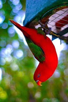 Bokeh by MD_MC, via Flickr - wonderful photo of an Australian male king parrot.