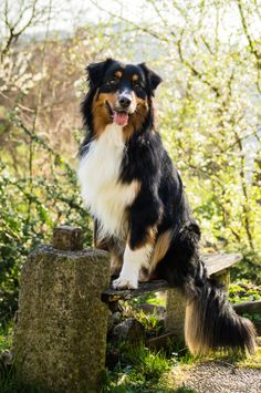 Blacky meets spring by Michael Kasper on / handsome dogs Australian Shepherds, English Shepherd, Aussie Shepherd, Australian Shepherd Puppies, Aussie Dogs, Black Tri Australian Shepherd, Pet Dogs, Dogs And Puppies, Dog Cat