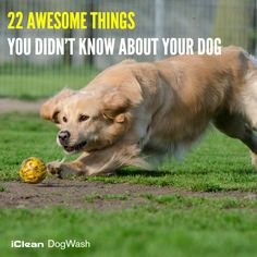 """""""22 Awesome Things You Didn't Know About Your Dog""""- Dogs are your constant companions. You know where they like to be scratched, what treats they love to gobble and just how far they want you. To read more click here: http://goo.gl/Jw0F87 #Dog #DogTips #DogWash #CleanDog"""