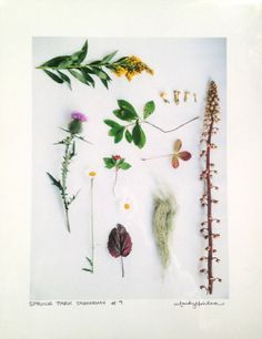 Wildflower Botany Taxonomy. Taxonomy 9 : Artist Wilderness Connection Photograph by mandymohler, $30.00  www.MandyMohler.com  #knolling #thingsorganizedneatly #ABK