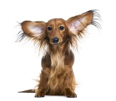 Dachshund puppy can hear your thoughts