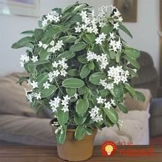Wedding Flower(Stephanotis florabunda)/Variegated Madagascar Jasmine-Sweetly scented waxy white flowers are more fragrant at night.Great drought resistance,easily propagated from cuttings. My favourite flower White Flowers, Beautiful Flowers, Front Door Christmas Decorations, Growing Plants Indoors, Moon Garden, Plant Sale, Tropical Plants, Trees To Plant, Houseplants