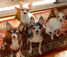(152) Facebook I LOVE LITTLE DOGS!!!!