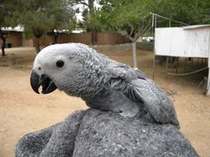 14 weeks old ( Congo African Grey Parrot )