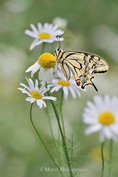 A Swallowtail Butterfly ~ On Flowering Chamomiles.   (Photo  By: Marek Mierzejewski.)