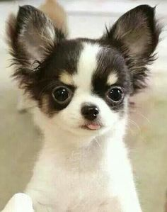 Effective Potty Training Chihuahua Consistency Is Key Ideas. Brilliant Potty Training Chihuahua Consistency Is Key Ideas. Teacup Chihuahua, Chihuahua Love, Chihuahua Puppies, Cute Puppies, Long Haired Chihuahua, Puppies And Kitties, Cute Cats And Dogs, I Love Dogs, Doggies
