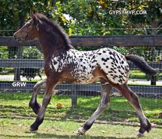 Gypsian (Gypsy/Friesian Cross) Horse for Sale   Colt   Spotted Bay   Lone Star