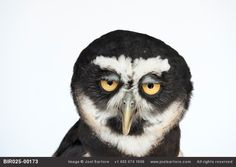 A spectacled owl not feeling particularly spectacular right now