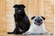 A Look at the Pug Dog Breed - http://weloveourpugs.net/a-look-at-the-pug-dog-breed/