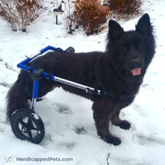 Happy #TongueOutTuesday from Dallas, in her new Walkin' Wheels!