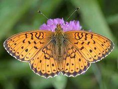 Angervohopeatäplä, Brenthis ino - Perhoset - LuontoPortti