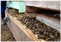 Αντιγραφάκιας: Κλαίνε οι μελισσοκόμοι στην Ελλάδα: Έρχεται το τέλ...
