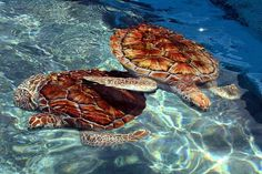 Beautiful Cancun: Turtles at Isla Mujeres. Photo by curtis palmer