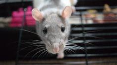When you finally get one good picture #aww #cute #rat #cuterats #ratsofpinterest #cuddle #fluffy #animals #pets #bestfriend #ittssofluffy #boopthesnoot