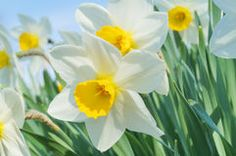 Narcissus plant flowers Stock Photo